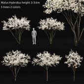 Яблоня цветущая | Malus Hybridus flowering #1