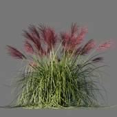 Miscanthus Chinese Rotfeder / Miscanthus sinensis Rotfeder