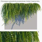 Primulaceae Lysimachia Nummularia Aurea | Golden Creeping Jenny