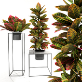 Croton plants set