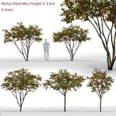 Яблоня | Malus Hybridus #1