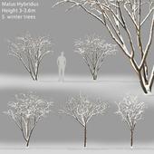 Яблоня зимняя | Malus Hybridus winter #1