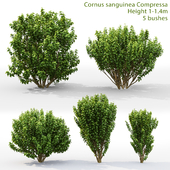 Derain Compress | Cornus sanguinea Compressa # 1