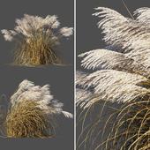 Сухой Мискантус китайский/Dry Miscanthus sinensis