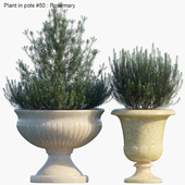 Plant in pots #50 : Rosemary