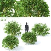 Дерен отпрысковый   Cornus sericea `Flaviramea`