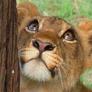 solnze_tigra