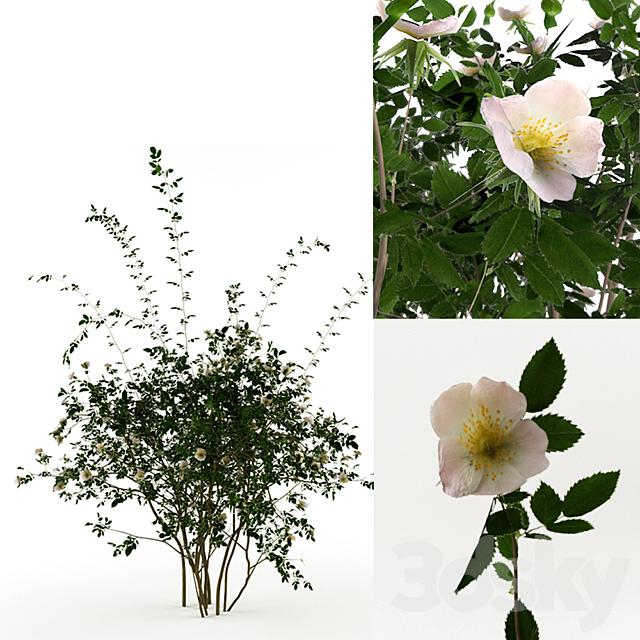 Rosa Sanina, Wild rose