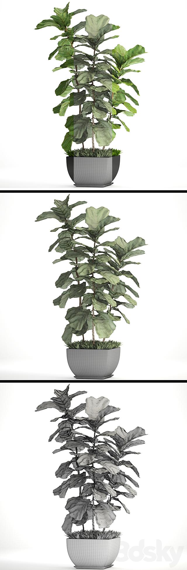 Ficus lyrata. 4