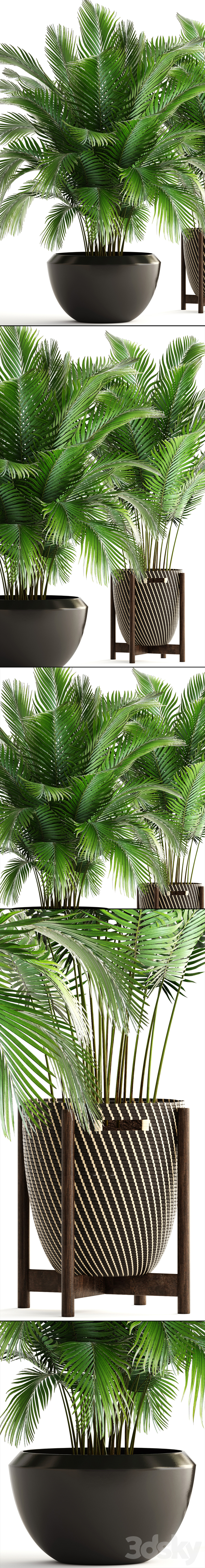 Collection of plants 164. Areca Palm