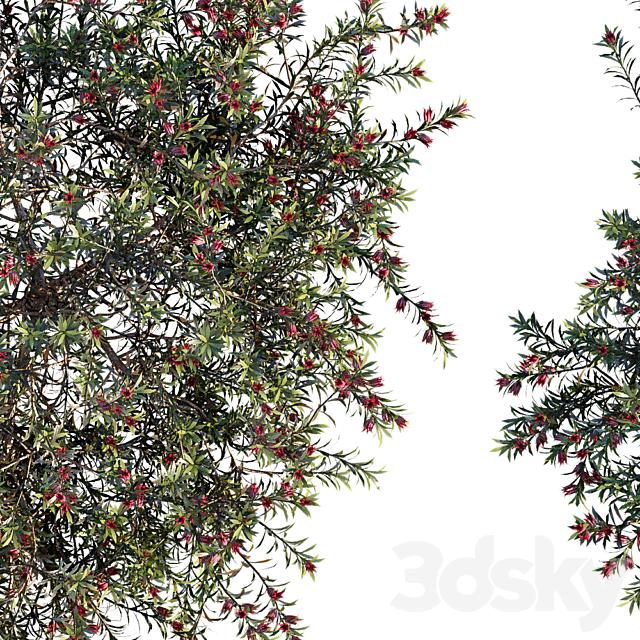 Darwinia Taxifolia