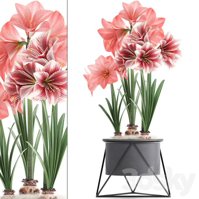 Plant collection 313. Hippeastrum.