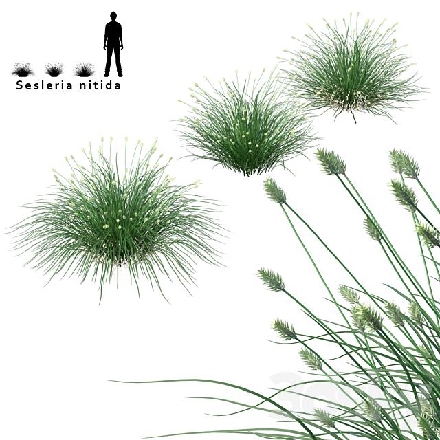Celesria shiny decorative cereals | Sesleria nitida