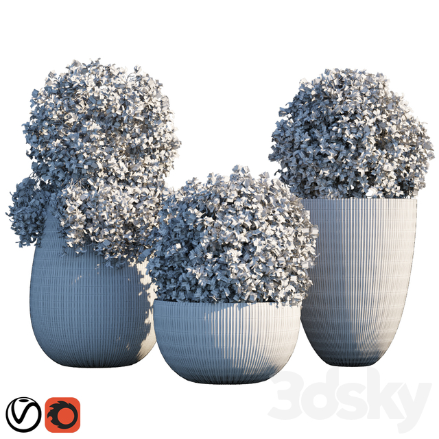 Plant in pots # 14: Star Jasmine
