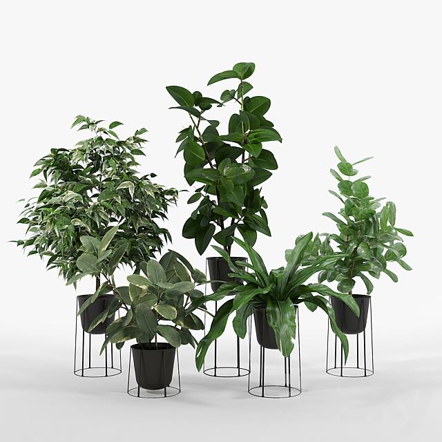 Ficus set 3