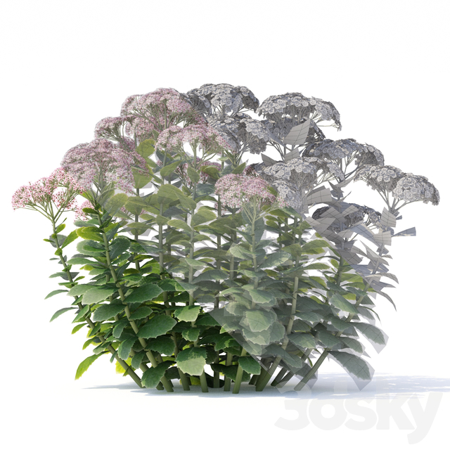 Sedum Stonecrop Flowers | Sedum spectabile