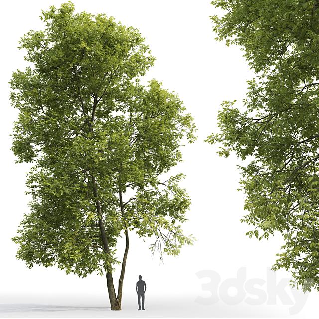 Ash | Ash-tree # 4 (18m)