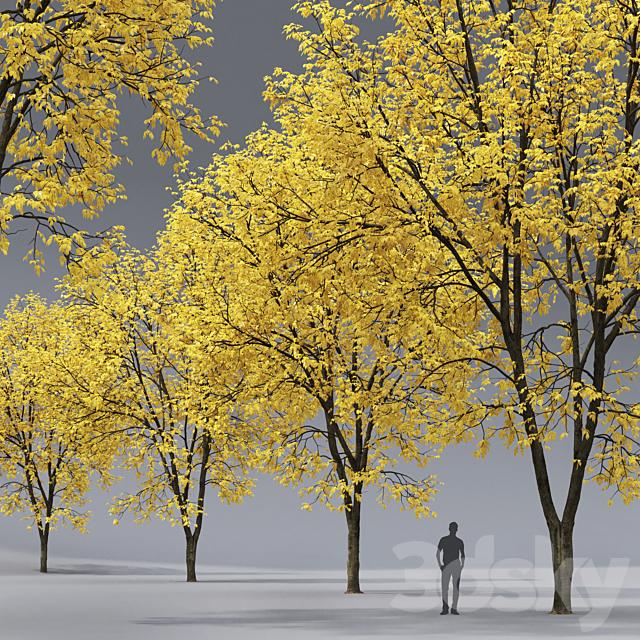 Autumn Ash | Ash-tree autumn # 7 (15.5m)