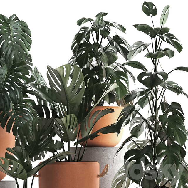 Plant Collection 423. Monstera