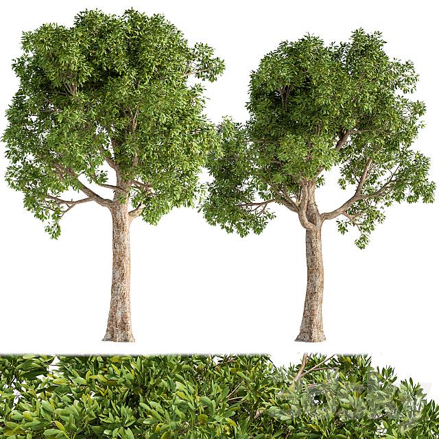 Broadleaf tree s