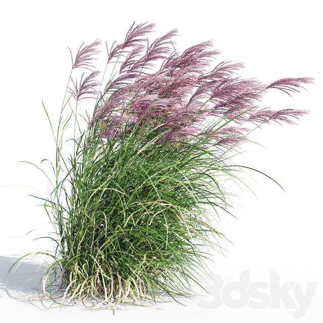 Miscanthus sinensis RED CHIEF in wind