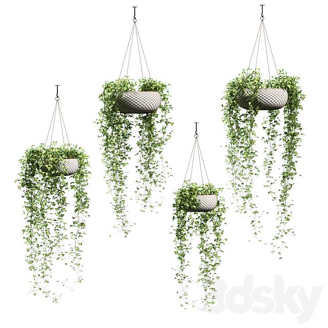 Ivy in hanging pots. 4 models
