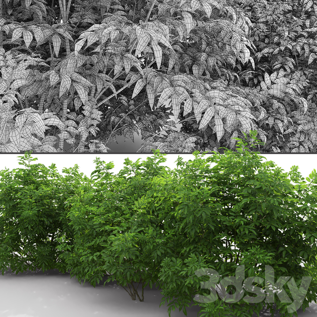 Elderberry   Sambucus nigra # 3