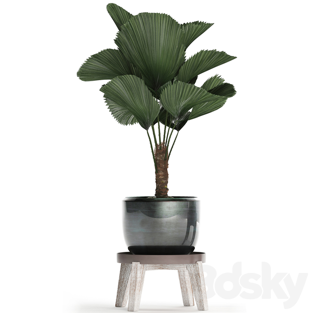 Plant Collection 453. Licuala