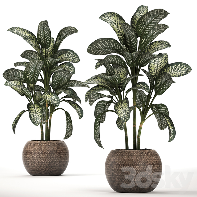 Plant Collection 455. Dieffenbachia