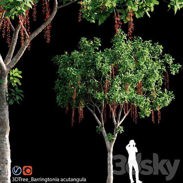 Barringtonia Acutangula 01