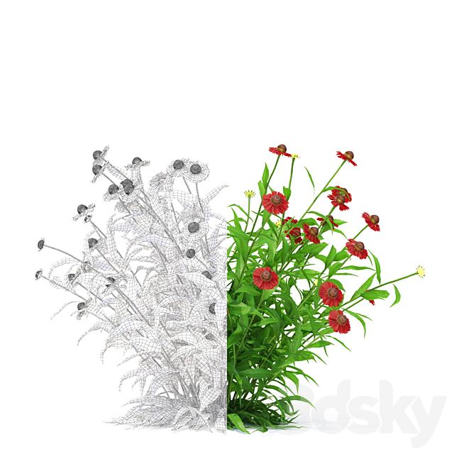 Gelenium hybrid flowers   Helenium hybride