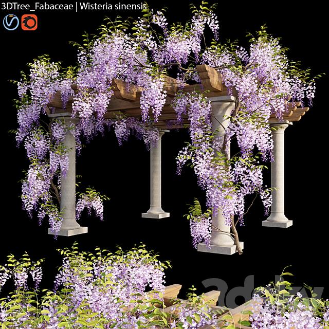 Fabaceae   Wisteria sinensis 05