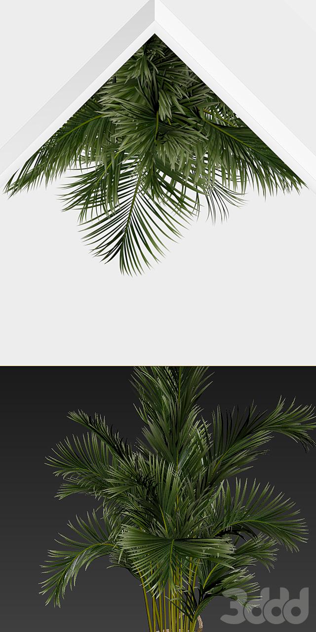 Пальма угловая