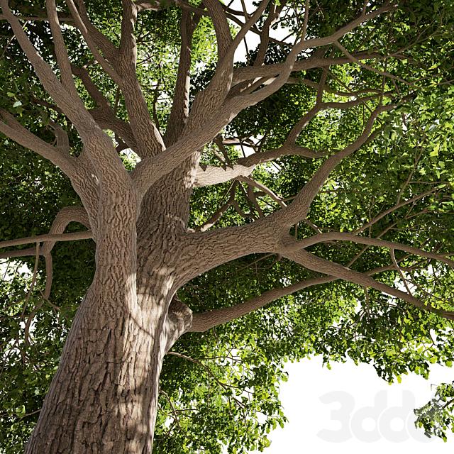Tree Oak generic