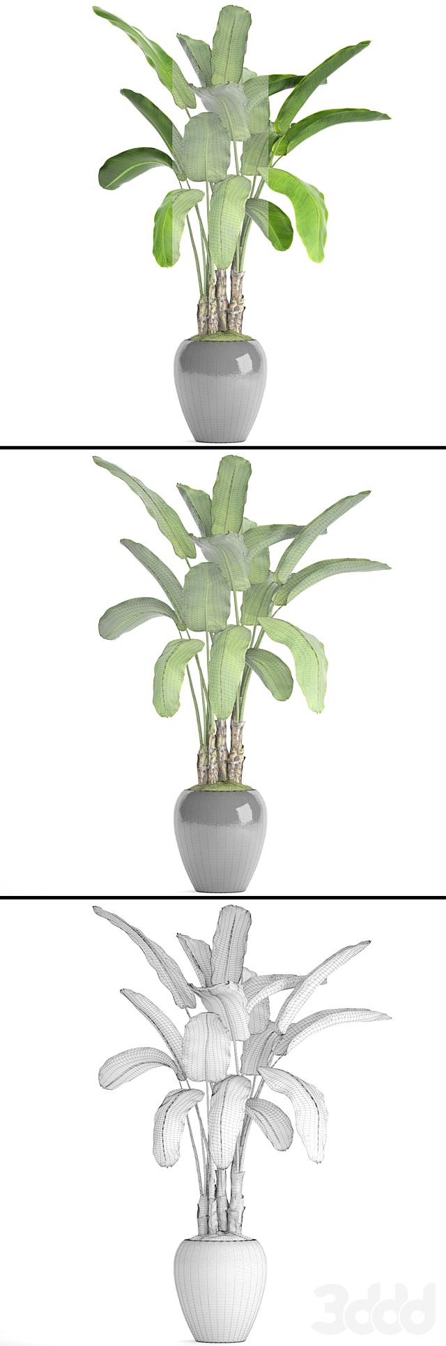 Банановая пальма в горшке 5