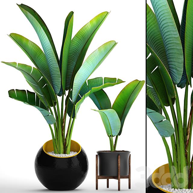 Коллекция растений 79. Ravenala