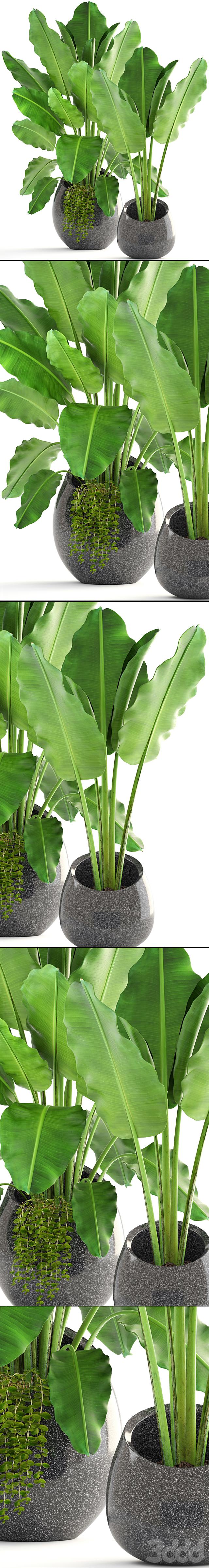 Коллекция растений 171. Banana palm