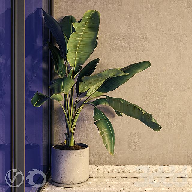 Растение Strelizia в бетонном горшке