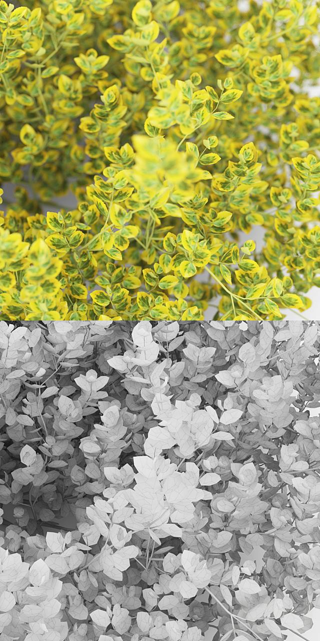 Бересклет Форчуна куст | Euonymus Fortunei Emerald`n Gold