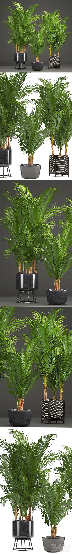 Коллекция растений 216. Howea forsteriana