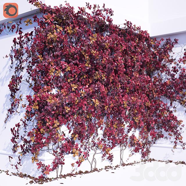 Девичий виноград 2