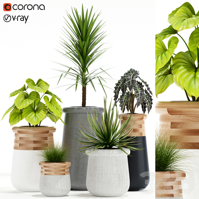 Plants collection 131 indigenus soma