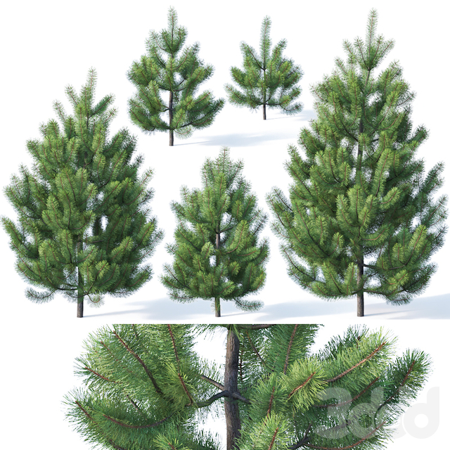 Pinus sylvestris #1 1-3m