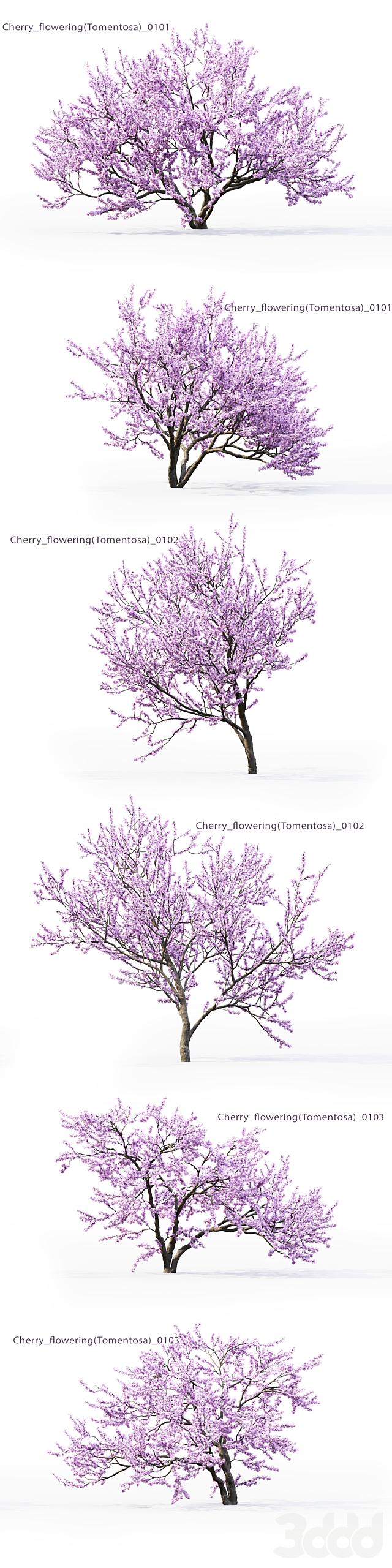 Prunus tomentosa   Cherry flowering bush #1