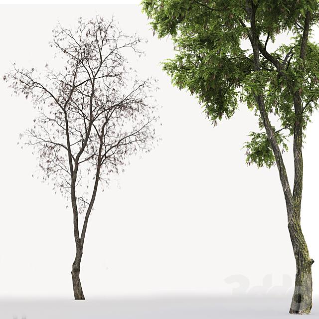 Белая акация | Robinia Pseudoacacia #6(15.3m)