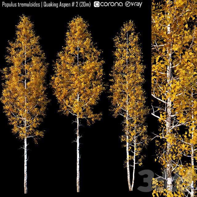 Populus tremuloides   Quaking Aspen # 2 (20m)