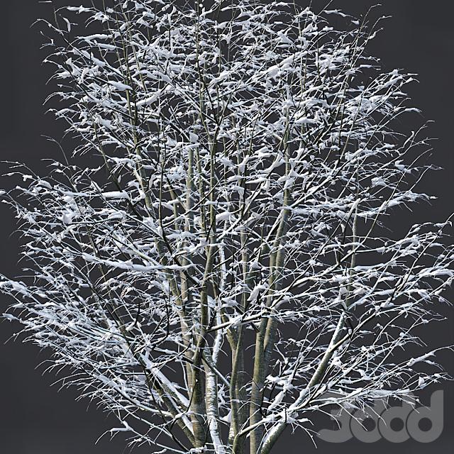 Tilia europaea #5. H4-6m. Five winter tree set