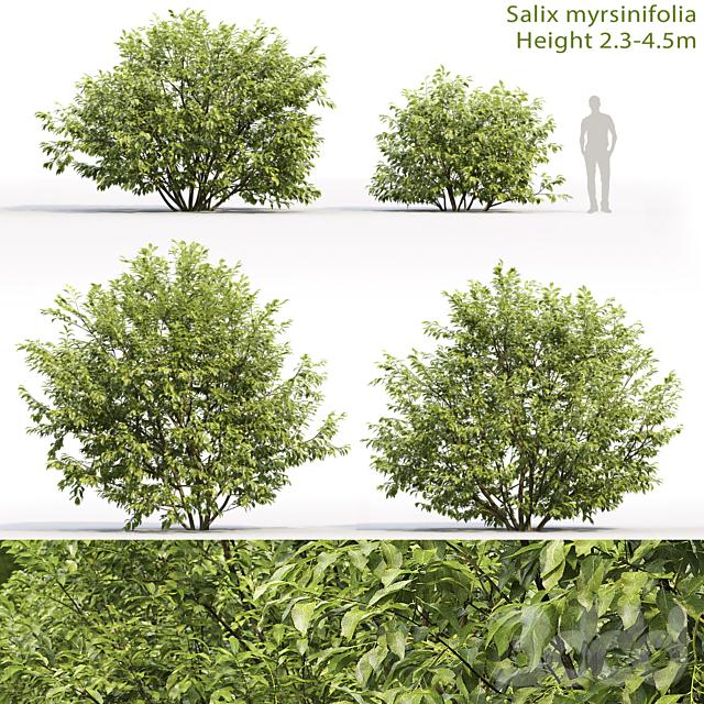 Ива мирзинолистная   Salix myrsinifolia #1 (2.3-4.5m)