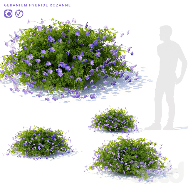 Герань садовая куст | Geranium hybride Rozanne