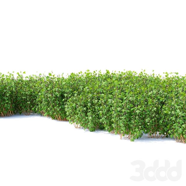 Смородина кусты   Currant